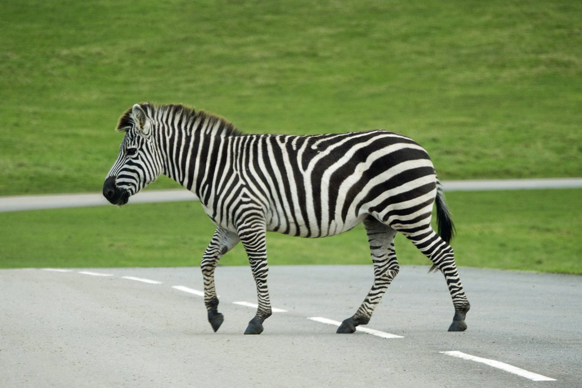 test Twitter Media - Z E B R A Zebra crossing... @Longleat #Zebra #Stripes https://t.co/9TKYrU2nsz