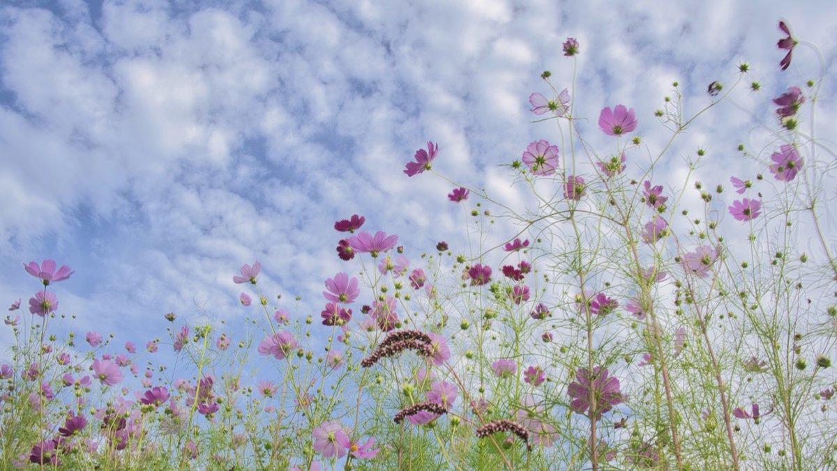 test ツイッターメディア - 【花のある風景】 (長野県佐久市)2020/09/16       内山のコスモス街道にて... うろこ雲とコスモス。  #信州 #佐久市 #コスモス街道 #コスモス #風景写真 https://t.co/ERpuuBZoh3