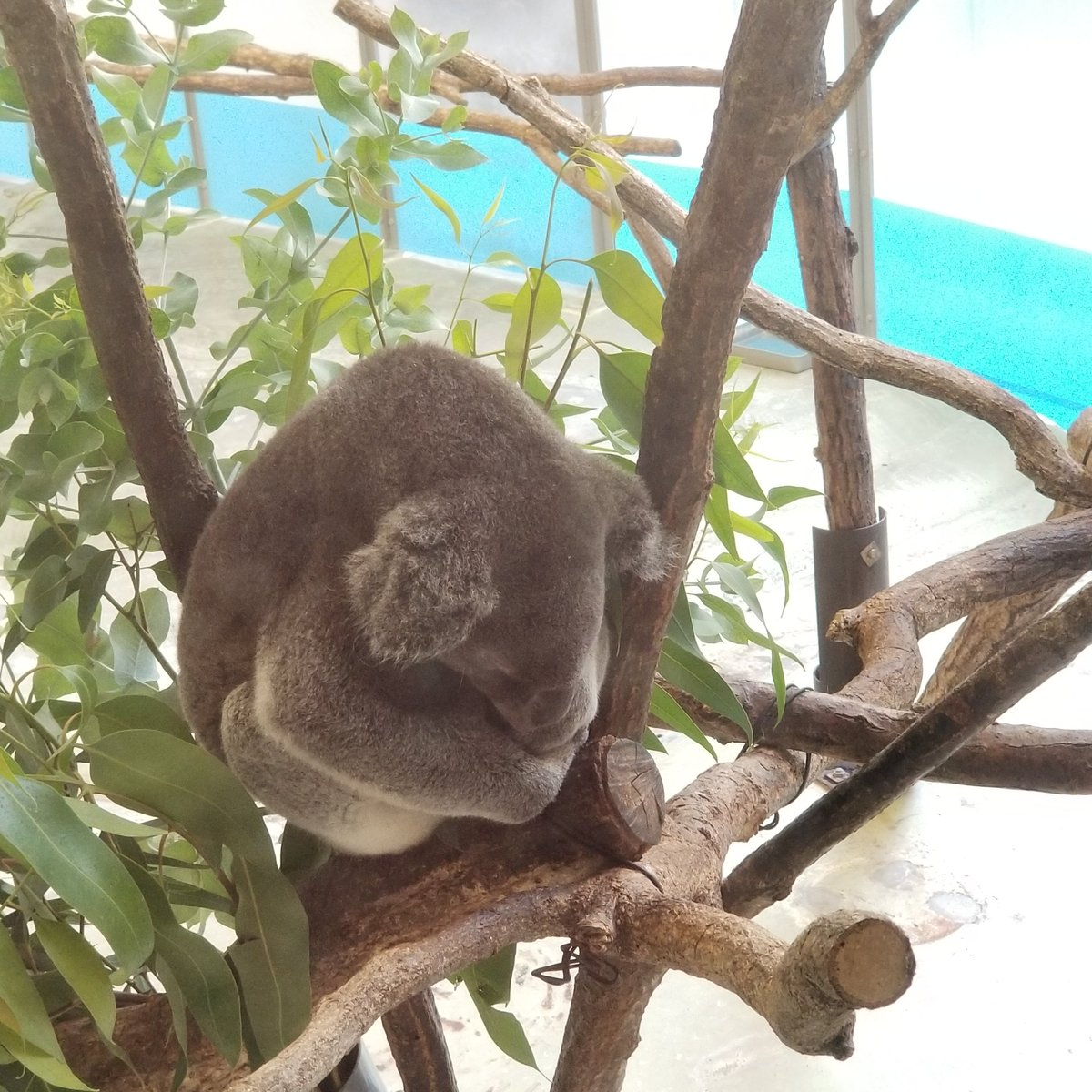test ツイッターメディア - 今日は多摩動物園行ってきました。夏休みだったので! 金曜だから遠足の子どもらが多かったけど、昼過ぎに行ったからあまり遭遇しなくて済みましたー。良かった! 東山動物園のコアラ見たくて行った、みたいな所あったんだけど、残念な事に名前が書いてなかった…どの子がこまちときららなのだろうか… https://t.co/0PVh2Au8OB