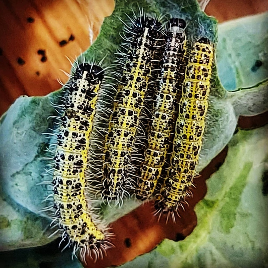test Twitter Media - Four cabbage white caterpillars, growing inside the observation box for my 3yo's bugnoculars. . . #butterflies #cabbagewhite #caterpillar #hairy  #growing #british #common #naturephotography #learning https://t.co/mXTe6f8NtV https://t.co/iyA700uwQX