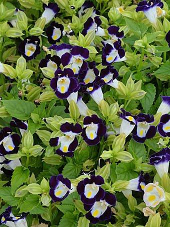 test ツイッターメディア - 本日9/28(月)の誕生花は『トレニア(ハナウリクサ:花瓜草)』花言葉は「愛敬」(ラジオ深夜便より)。子つばめのごはん待ちに似てる😄。かわいぃ~😍。お誕生日の方おめでとうございます🎉👏🎂🎊。 まこんち開店イタシマシタ😄。 24:00迄の営業です🙇。 https://t.co/6YVcucZD0O