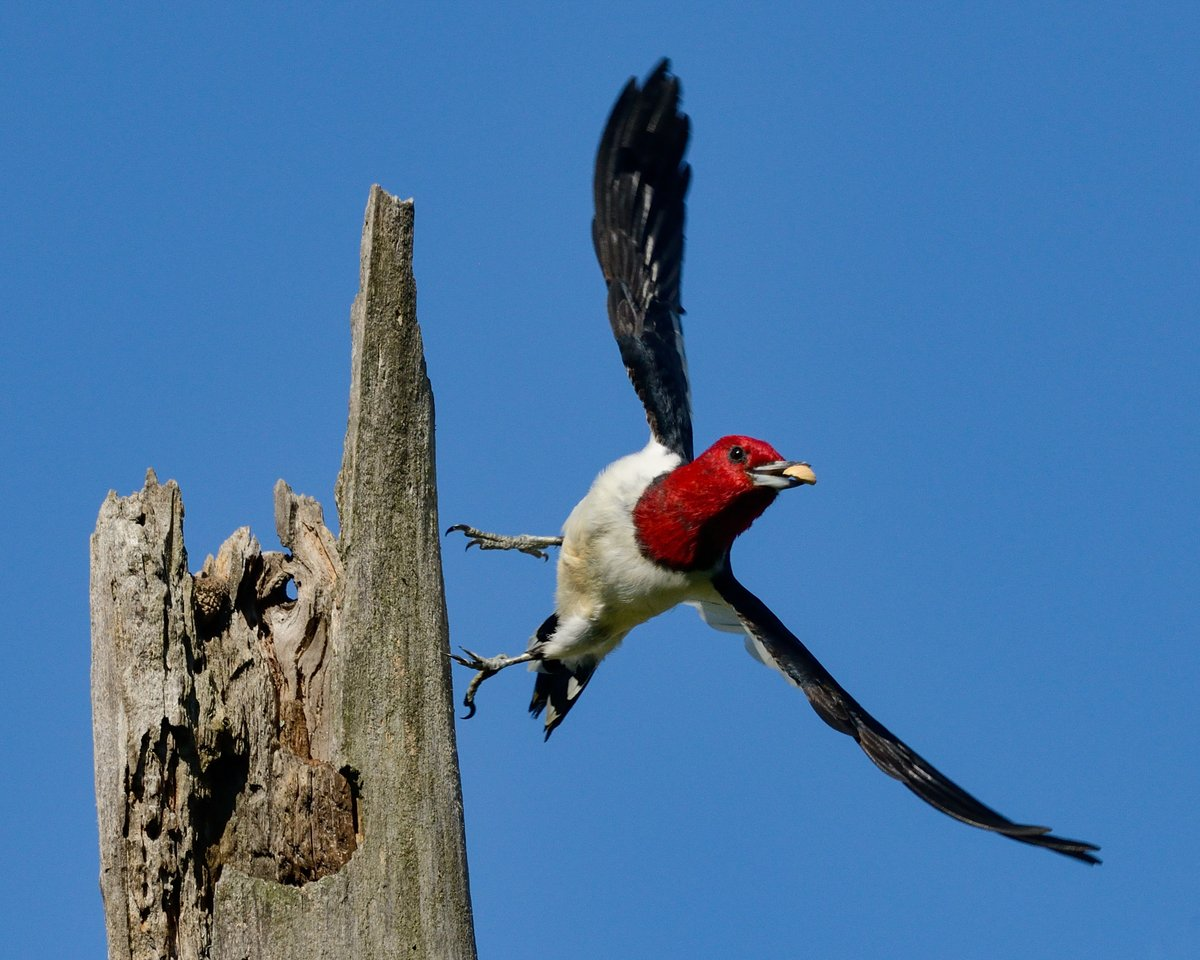 Woody Woodpecker, is that you? 😮 Red-headed #woodpeckers are sometimes called