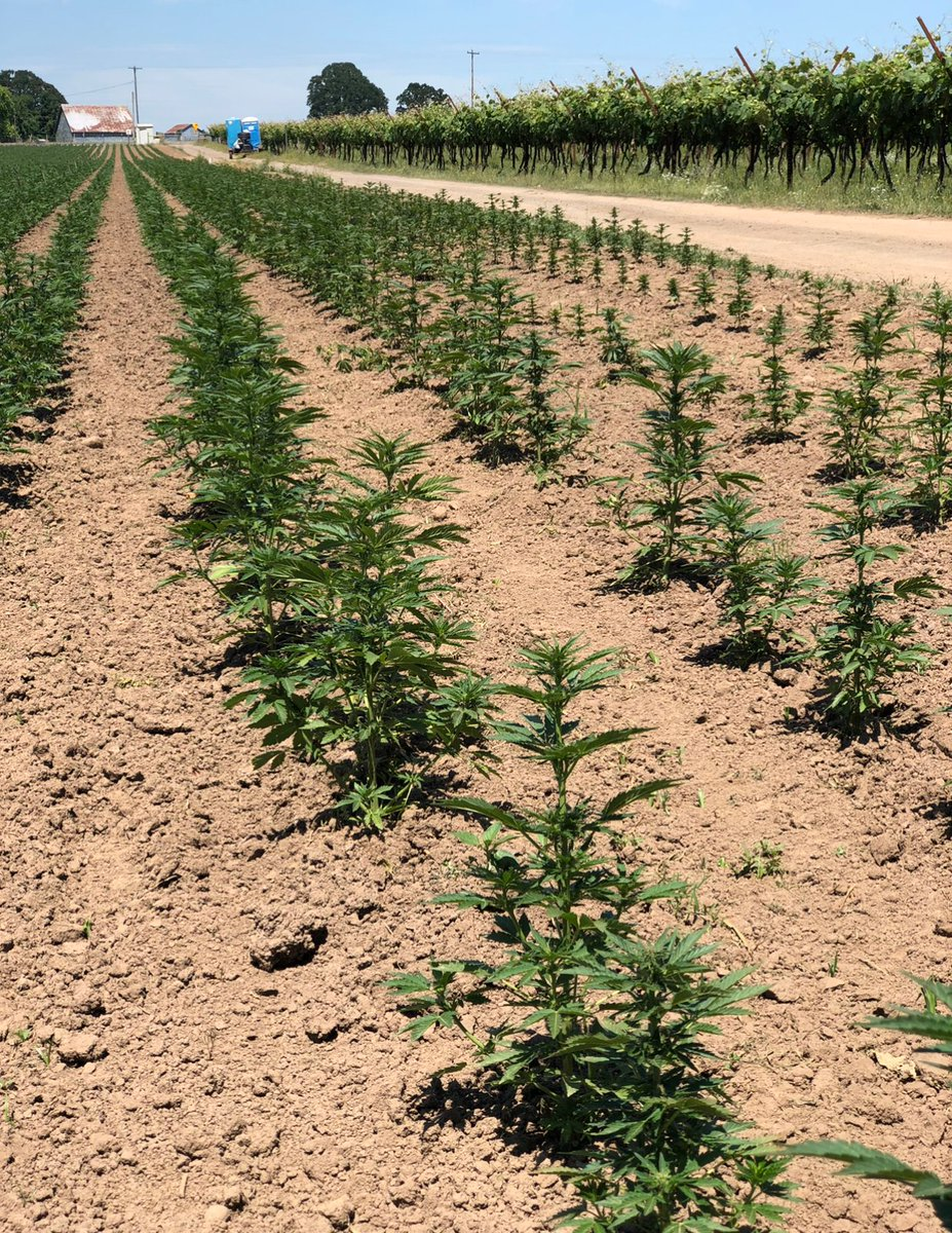 Wondering about cannabis? We are too. For crops such as hemp, survey data is collected by @usda_nass. It is anticipated that hemp will be added to the list of crops surveyed in the next couple of years. See more ag stats:  Español: