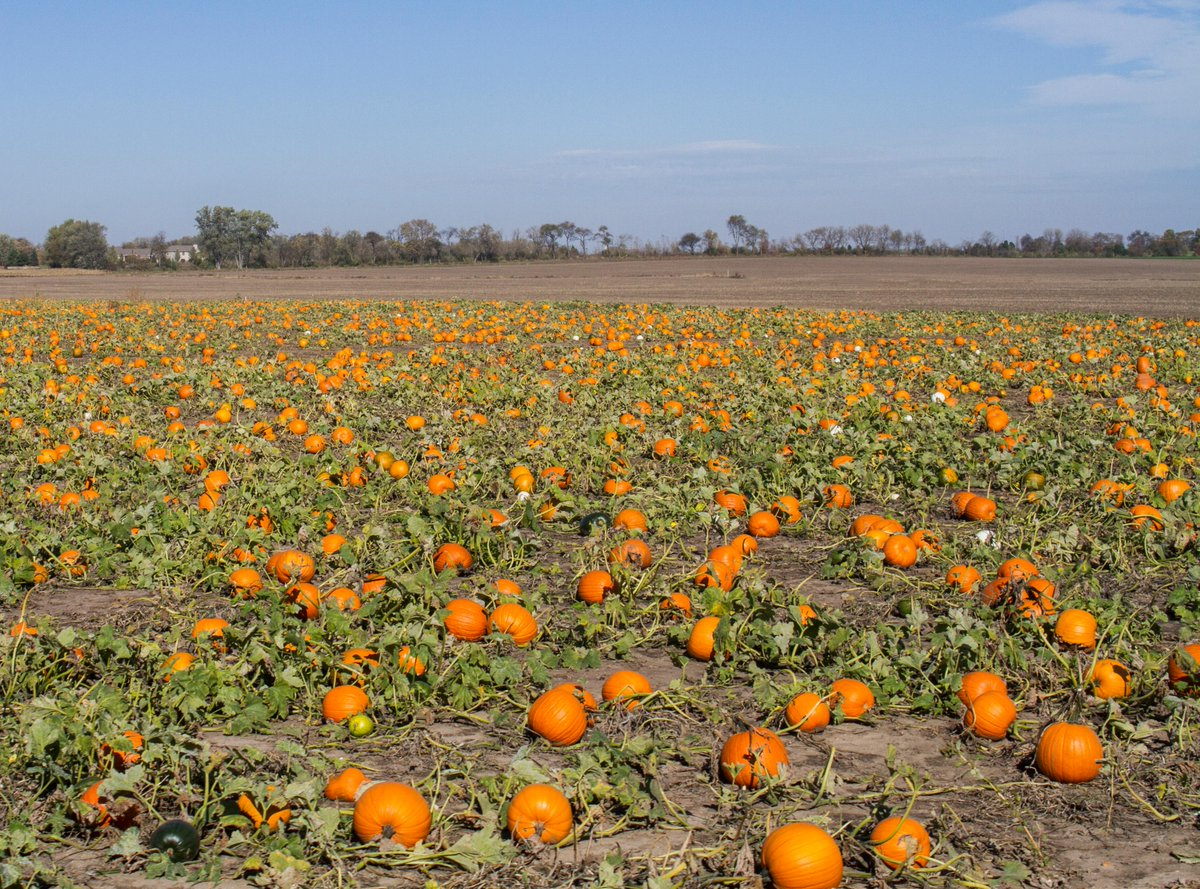 Pumpkin season is here! U-Pick Pumpkins can be found all throughout McHenry County, click below to find out where.    📸 : K-Adams Foto