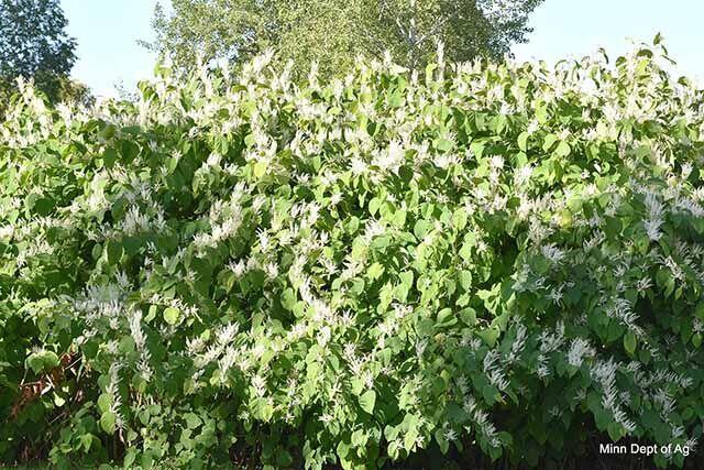 September Weed of the Month: Invasive Knotweeds. Via @mlacsmessenger  #invasives