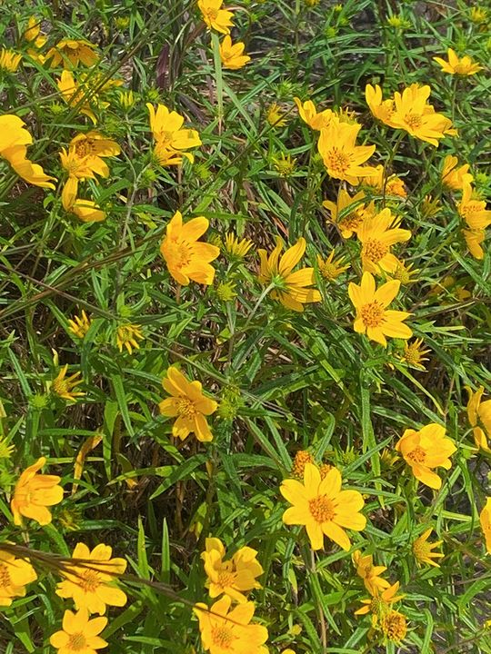 1 week left to see yellow daisies at @Arabia_Alliance, @PanolaMountain & @StoneMtnPark as part of the Daisy Days Triple Hike Challenge!  Snap photos & upload them to a virtual passport to redeem a prize!   Learn more here:   #daisydays #BetterExplored