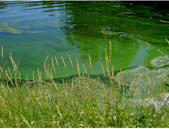 Reminder: Public health advisory still in effect for harmful algal blooms in Ford Lake, Ypsilanti. People & pets should avoid direct body contact with scums in the lake, water that is blue-green or water w/ a green sheen/spilled paint on its surface