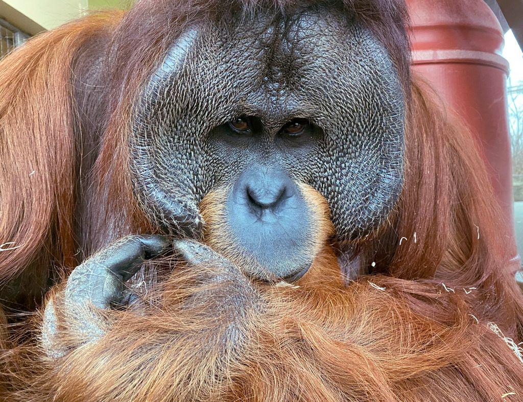 Who's got long, red hair & big cheek pads & turns 16 today? This guy! Happy birthday to everyone celebrating, including orangutan Rocky. #IndyOrangutans
