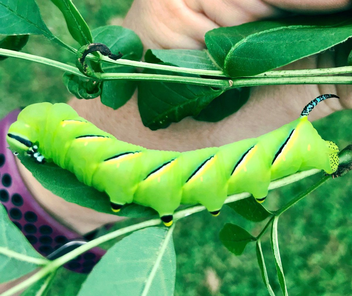 This laural sphinx #caterpillar was found happily chomping on leaves in an ash tree. It will soon burrow into the soil to pupate over the winter. Its brilliant green color & black & blue horn will will be gone when it emerges as a large brown moth next year. 🐛 #TimeToExplore