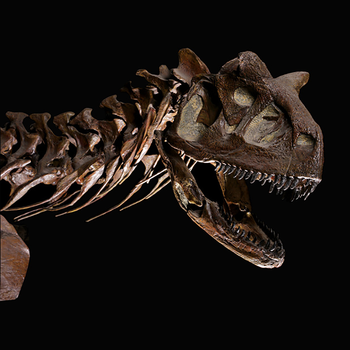 Think T. rex had tiny arms? Think again. Gallery Interpreter Tony Turner introduces the bull of the Late Cretaceous period: Carnotaurus! (1/3)  Missed this week's #DinoFest at Home live programming? Enjoy every discussion and more any time: