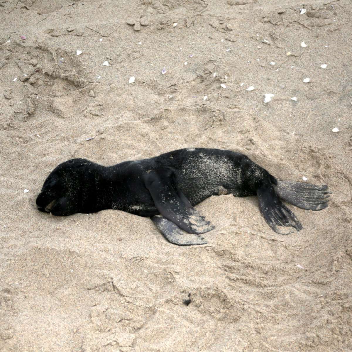 "5,000+ dead baby seals washed up on Namibia's coast.  Researchers say Cape fur seals sometimes abandon pups or abort fetuses when there are food shortages. But never at this scale: ""We are sitting at the cusp of a catastrophe.""  (📷: Ocean Cons. Namibia/Namibian Dolphin Proj.)"