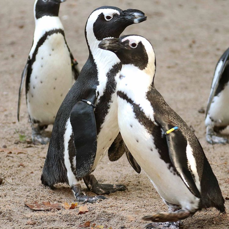"2 gay penguins in the Netherlands allegedly stole a nest from a neighboring lesbian couple. They have reportedly stolen eggs before.  The zoo says they are are ""carefully"" guarding the nest, but sadly no chick is expected to hatch. (📷: @dpamersfoort)"