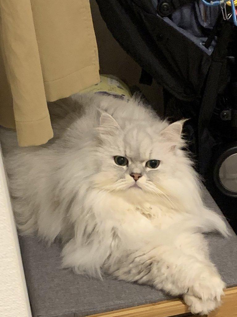 test ツイッターメディア - おはミャうございます。 10月も最後の週、今日も昼寝と毛づくろいで大忙しにゃ。  #猫 #猫のいる生活 #ねこ #チンチラシルバー #チンチラ猫 #長毛猫 #毛玉との闘い #もふもふ #ふわふわ #猫好きさんと繋がりたい  寒くなっできたけど、きのうもひんやりねこ鍋で寝てたね、てんちゃん。 https://t.co/VIQ1mp69fH