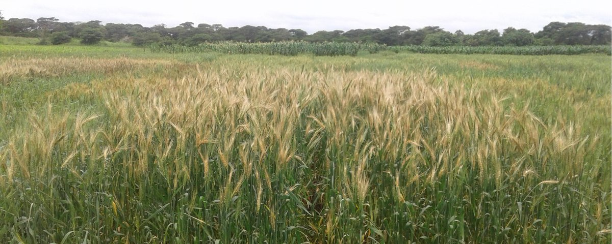 test Twitter Media - Wheat Blast arrives in Zambia--first time in Africa, via @thescientistllc (Wilmington, DE, US)  https://t.co/OCSRTY00tC  #agriculture #crops #wheat #trigo #GlobalFoodSupply #FoodSupplyChain #WheatBlast https://t.co/pifuNJMBEh
