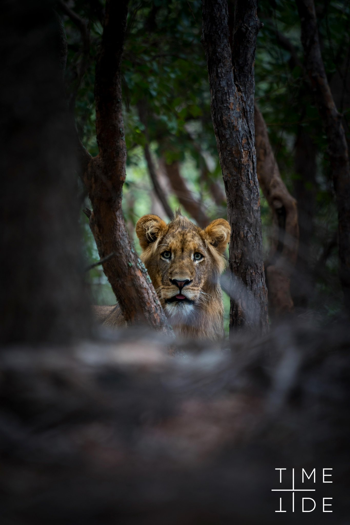 Spotted in between two villas at Time + Tide Lewanika. Our photographer, Andrew Macdonald, captured this lion peeking through the trees from about 50m away. @TimeTideAfrica https://t.co/W7H3BXOASp