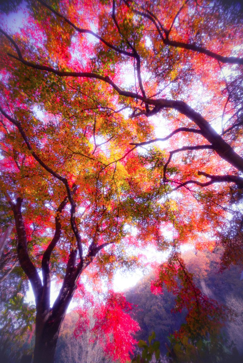 test ツイッターメディア - 11/19日 秩父ミューズパークの紅葉🍁錦がとても美しいです。 連休は見頃です。 どうぞマスクはお忘れなく。 #秩父 #秩父ミューズパーク #絶景 #オリオン座流星群 #小鹿野町 https://t.co/OX56jB80qt