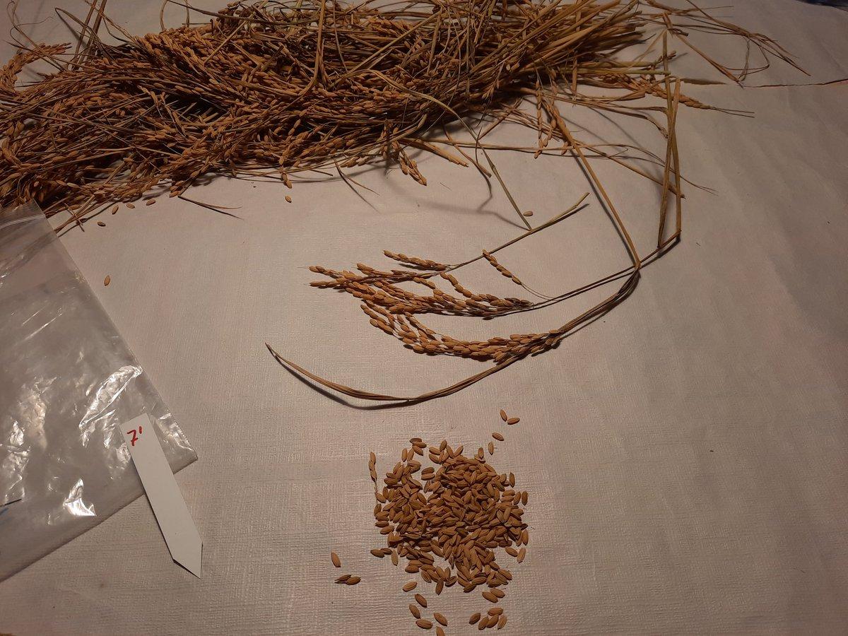 test Twitter Media - Los agricultores de #Cincovillas están finalizando la cosecha de #arroz🌾, en #RedFAra terminamos con los ensayos de control de #Pyricularia con diferentes fungicidas, pronto veremos los resultados 👏👏 https://t.co/HsLRYBYUlU