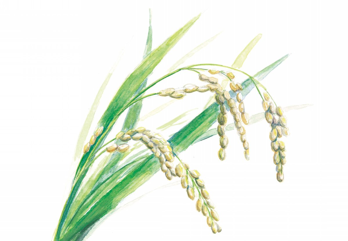 test ツイッターメディア - 【五百万石のこと】 麹チーズケーキで使用する米、五百万石は、人口交配によって新潟県で誕生した酒造好的米で、1957年に品種登録されました。ケーキを製造する私たち自らが、上越市安塚区大原集落の棚田で、栽培期間中農薬・化学肥料不使用で育てています。 https://t.co/3S2KLGIJGr