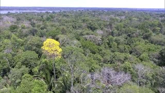 Governo retira Ipê de lista internacional de proteção de espécies ameaçadas  #G1