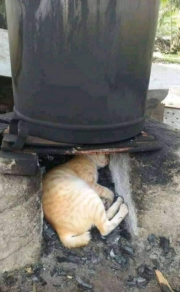 จากแมวส้มสู่แมวย่างวิเชียรบุรี