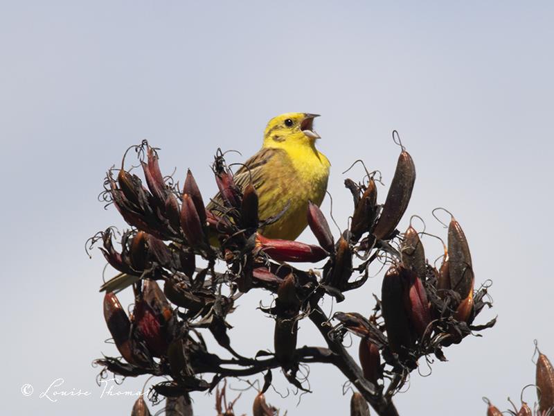 Hammer time. Happy New Year! Yellowhammer (Emberiza citrinella).  #nzbirds #birdwatching #birdtonic #nature #TwitterNatureCommunity #yellowhammer #birdphotography https://t.co/DVVeB1BnCH