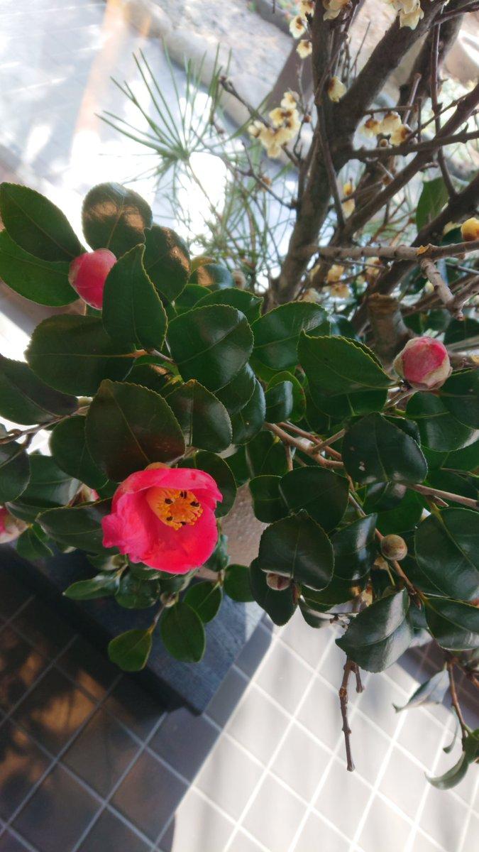 test ツイッターメディア - 今日も帰りに山田屋まんじゅうさんへ。関東のお友だちが食べて「美味しい」と言ってくれたことを伝えるととても喜んでくださいました。今日のお花は蝋梅(ろうばい)と椿と菜の花と黄水仙。「蝋梅は、自然の中だともっと黄色く咲くんですけど…」と言われてましたが、とても綺麗でした。 https://t.co/SwK5vie17d