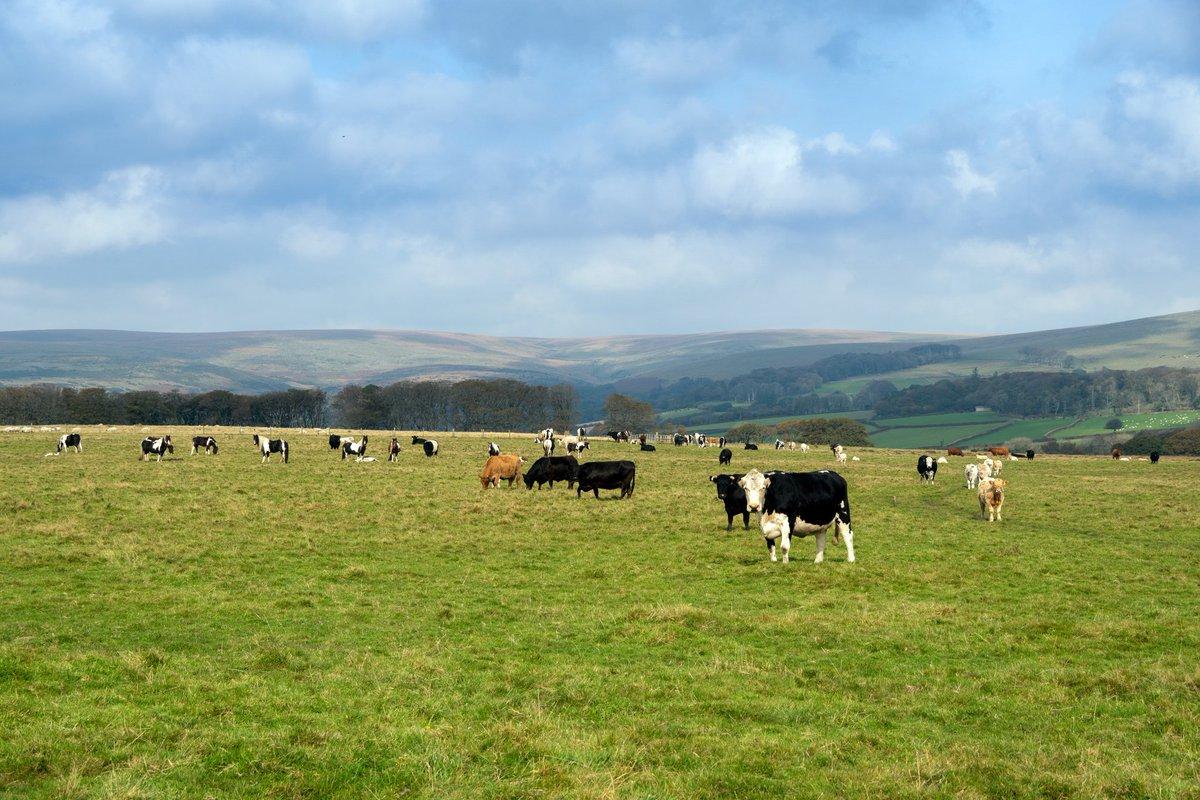 test Twitter Media - D A R T M O O R Cows on Dartmoor enjoying the winter sunshine.  #Ivybridge #Dartmoor #Cow  #SouthDevon #VisitDevon #LoveDevon https://t.co/RnZxYKmGHk
