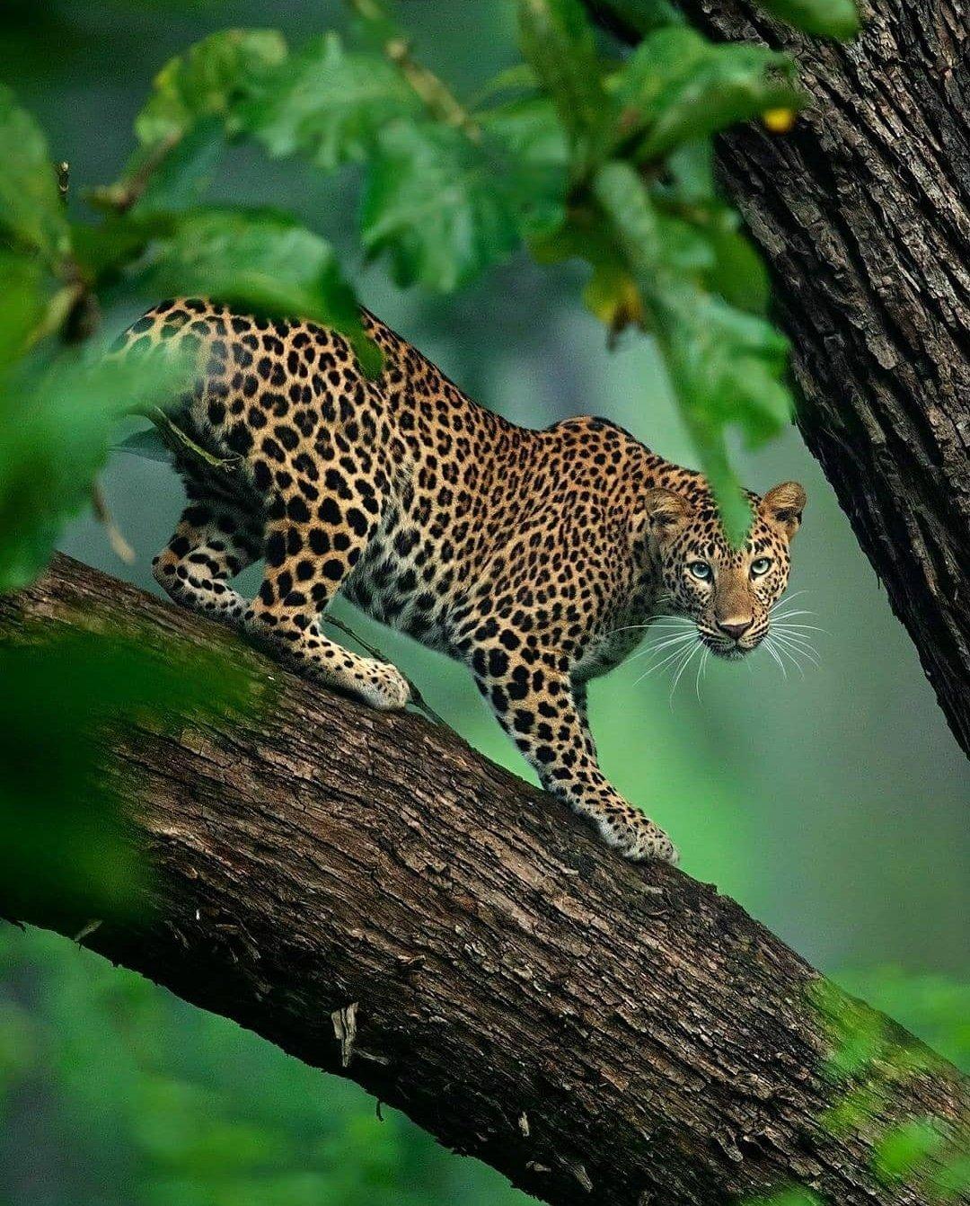 Kabini Forest, Karnataka......🐆🇮🇳🐆 https://t.co/N4nLYeVAcC