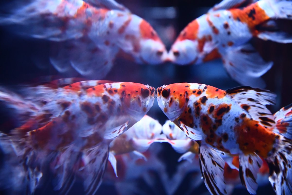 test ツイッターメディア - すみだ水族館の金魚たちが織り成す万華鏡のような風景(パート2)。 #すみだ水族館 https://t.co/L8RlpDT5kH