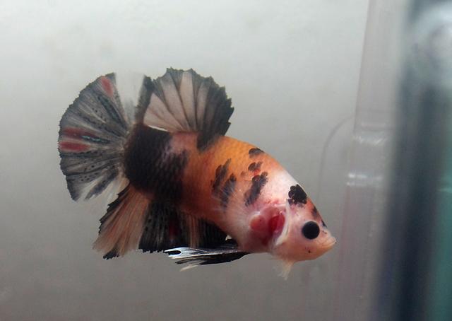 test ツイッターメディア - #ベタ #販売 #魚 #熱帯魚 #撮影 ヤフオクで販売用のベタを撮影中。この前アクアリウムバスにもっていった魚の兄弟だけど、あの頃より色も濃くなりいい感じに仕上がってきた。若魚だけどこれくらいから飼育して、色の変化を楽しむのが、私は、ベストだと思う。 https://t.co/KF10Vb2ikg