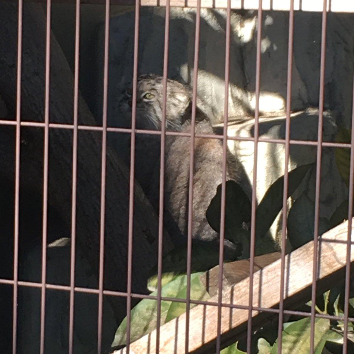 test ツイッターメディア - @obanprint おはようございます😃 東山動物園久しぶりに行きたいですねぇ コアラにも会いたいけど 個人的最推しのマヌルネコを見てほっこりしたいです https://t.co/lKZxX6FFWt