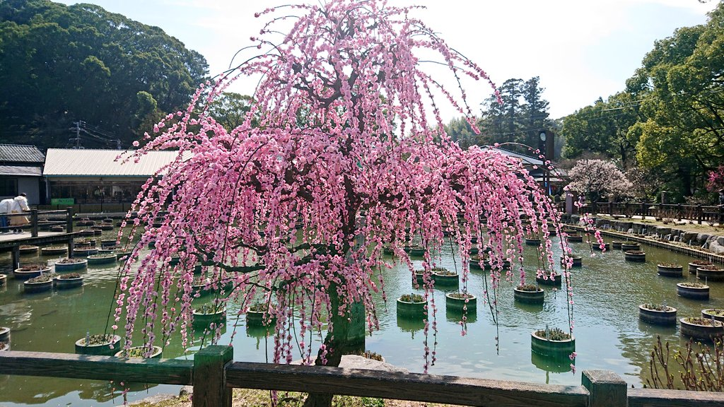 test ツイッターメディア - 太宰府のかさの家で梅ヶ枝餅🤤向かいに笠之家ってあるんだけど別物…? 梅の花は散り始めが多いです。枝垂れ梅や一部の梅は見頃です。車や人は割と多いです。 https://t.co/T3Kh0MDZYF