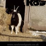 Breda not sure if she should venture out, sunny day but snow on the ground ❄️#bagotgoats #rarebreedgoats https://t.co/hIgGmKpSIY