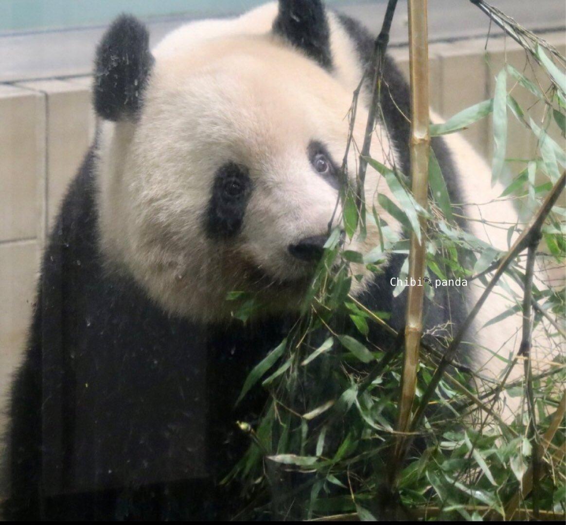 test ツイッターメディア - シャンちゃん嬉しそう😊この後食べてたのでおいしい枝見つけた❗️の顔かも🌿🐼🎵 シャンちゃんって表情豊かでそういうところもかわいくて大好き😆💕会いたいなぁ。  #シャンシャン #香香 #xiangxiang  #ジャイアントパンダ #giantpanda #上野動物園 #uenozoo https://t.co/h5u3aJdmDy