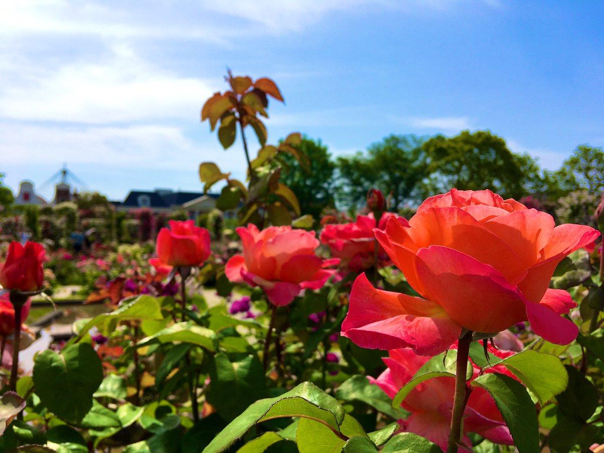 test ツイッターメディア - おはようございます😃 今日は曇りのち晴れ☀️の予報 あと2か月くらいすると、 ハウステンボスでは、 バラ🌹の華やかな景色が広がります😊花の凛とした美しい姿っていいですね💐 画像は昨年のものから📱 今日もよろしくお願いします🍀 https://t.co/GuY7hgwzhE