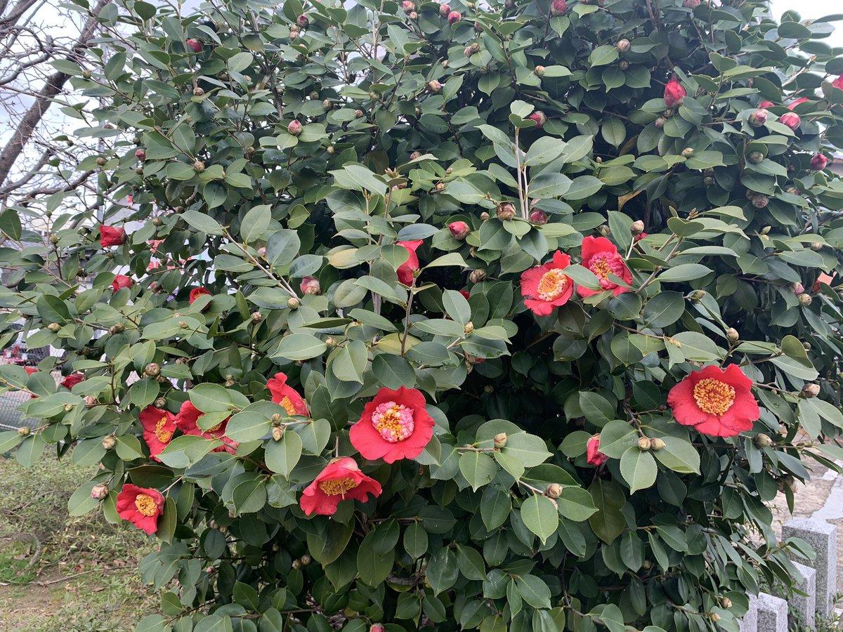 test ツイッターメディア - おはようございます、#京都レントオール です。 3月も2週目になりました。京都は曇りのち晴れの予定です。  椿の花も大きく開いてきました! 下の方から咲いていくのはどうしてなんでしょうね?🤔  ともあれ、今週もどうぞよろしくお願いします!  #企業公式が毎朝地元の天気を言い合う https://t.co/ngMnvtrXCz