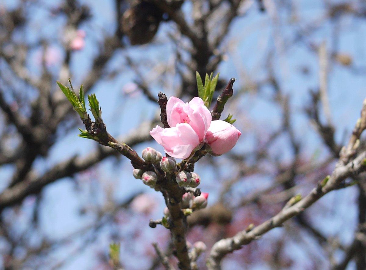 test ツイッターメディア - 夜の散歩してきた。今日は曇りのち晴れ。写真は昼間撮った花々。ヒマラヤユキノシタ、ボケ、フユシラズ、モモ。 https://t.co/OBmiZLw1sb