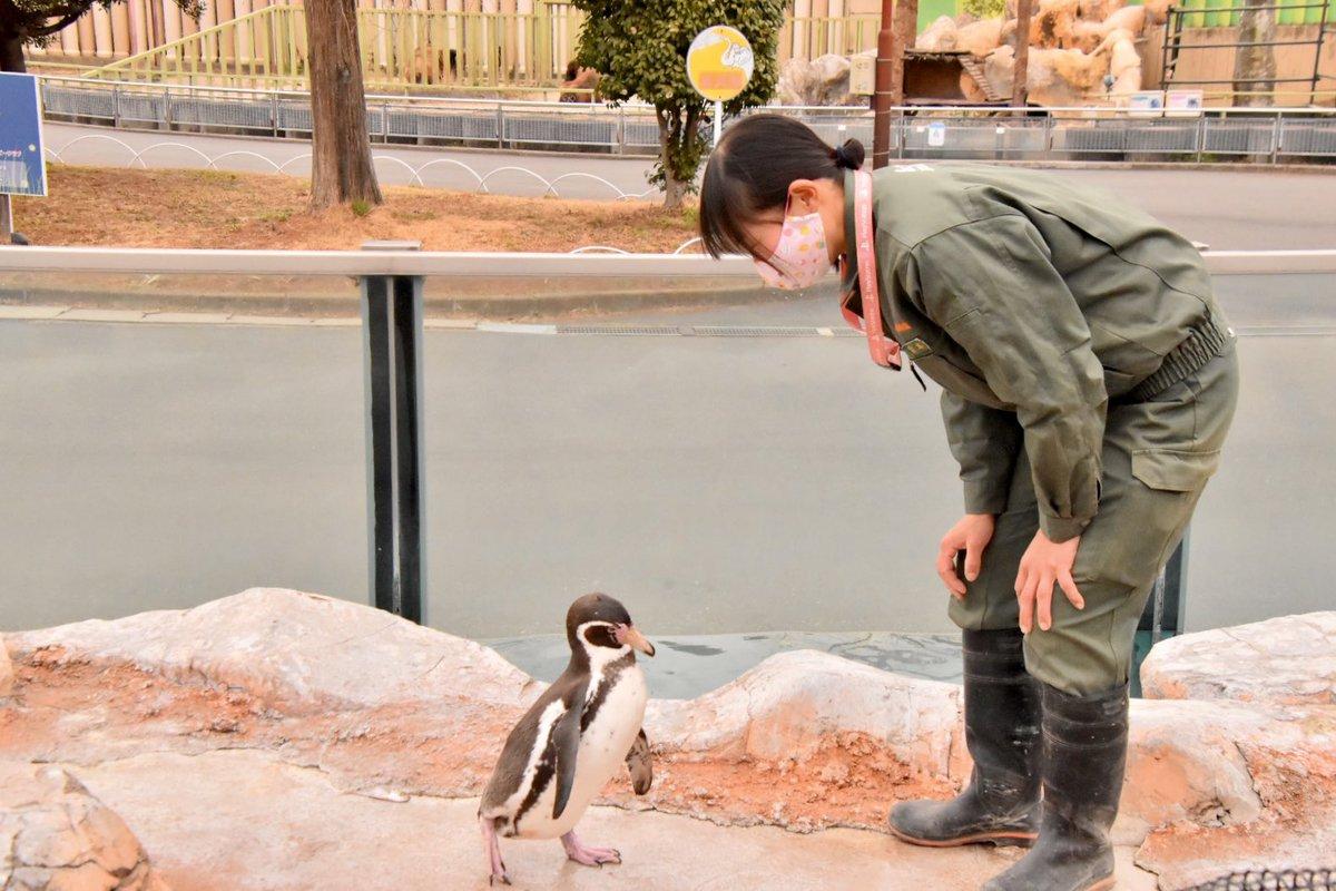 test ツイッターメディア - まめかわ🥰🥰🥰 #東武動物公園 #フンボルトペンギン #えだまめ https://t.co/2BQHZfHLdR