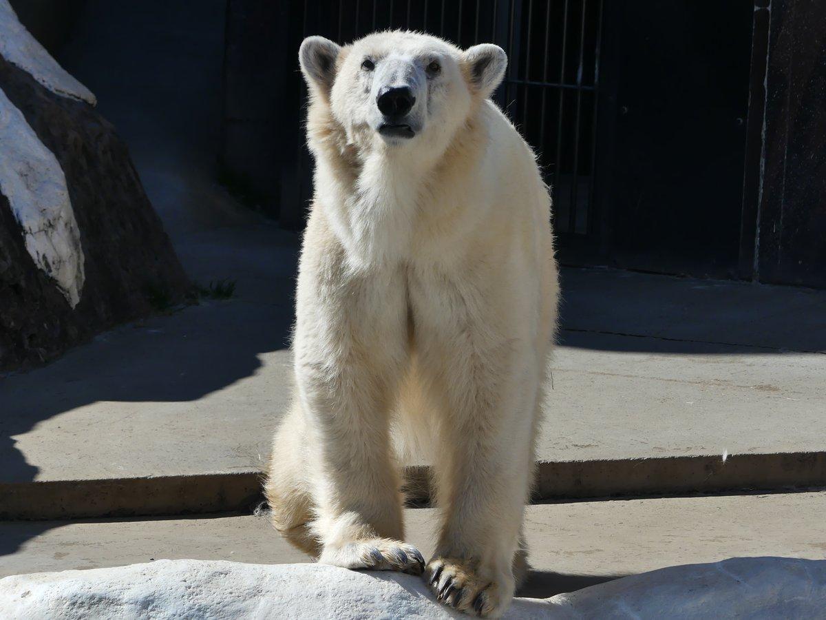 test ツイッターメディア - アルビノのヒグマとツキノワグマは「白熊」として人々に親しまれていたので、上野動物園ではドイツから来たクマを、英名Polar bearの和訳で「ホッキョクグマ」と呼びました。これ以後、「ホッキョクグマ」が正式な種名として使われるようになったのです。 #国際ホッキョクグマの日 https://t.co/y8O1Wlkj8F