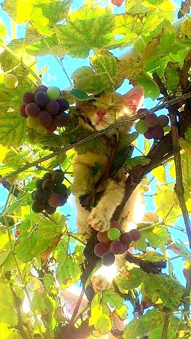 😸 and 🍇 we all like it 🤪🍷👍🍷#wine #winelover #cat #cats #catslovers @winewankers @tinastullracing @Dracaenawines @Havenlust @GoogleExpertUK @Coolmon2009 @JeanetteEliz @s_h_a @DemiCassiani @pietrosd @SteveKubota @JeremyPalmer7 @TedNguyen @MrScottEddy @thewinetattoo https://t.co/acCJMeyKbl