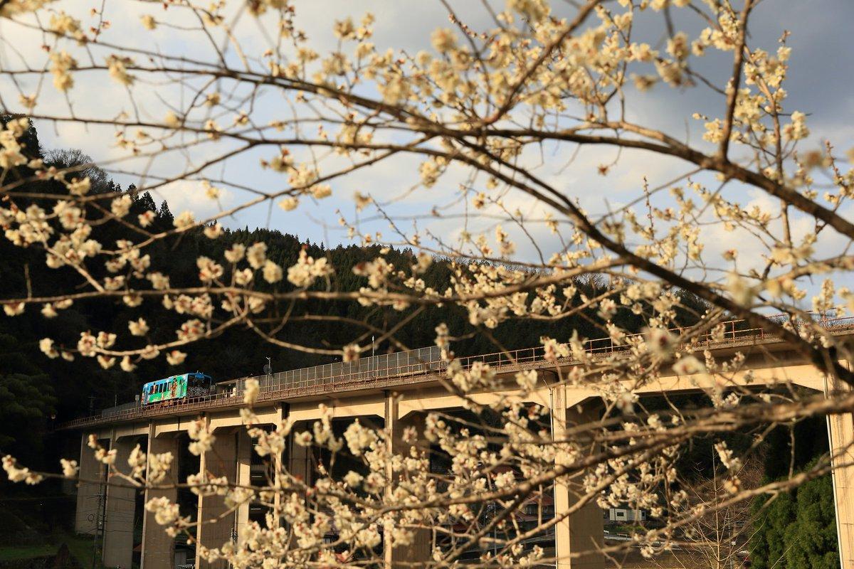 test ツイッターメディア - 我が家の紅梅はほぼ満開😊 三江線沿線はもう少し先かな⁉️🤔 通ってた頃が懐かしい…😅 https://t.co/fReXFuHckQ