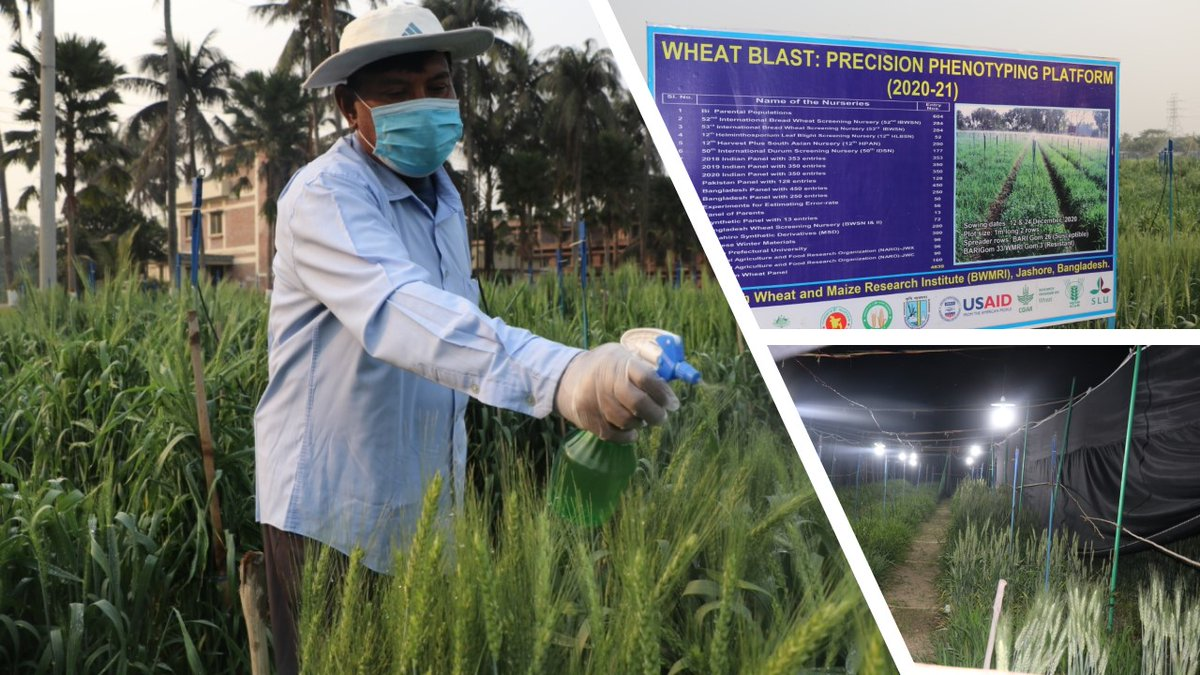test Twitter Media - Wheat blast screening activities in Jashore, Bangladesh help ensure the provision of resistant varieties to farmers #VirtualWheatTour. Work in the @CIMMYT wheat program led by Pawan Singh aims to identify new resistance sources #cgiarwheat @ACIARAustralia (pics: T Roy, BWMRI) https://t.co/lfaWkLnK2O