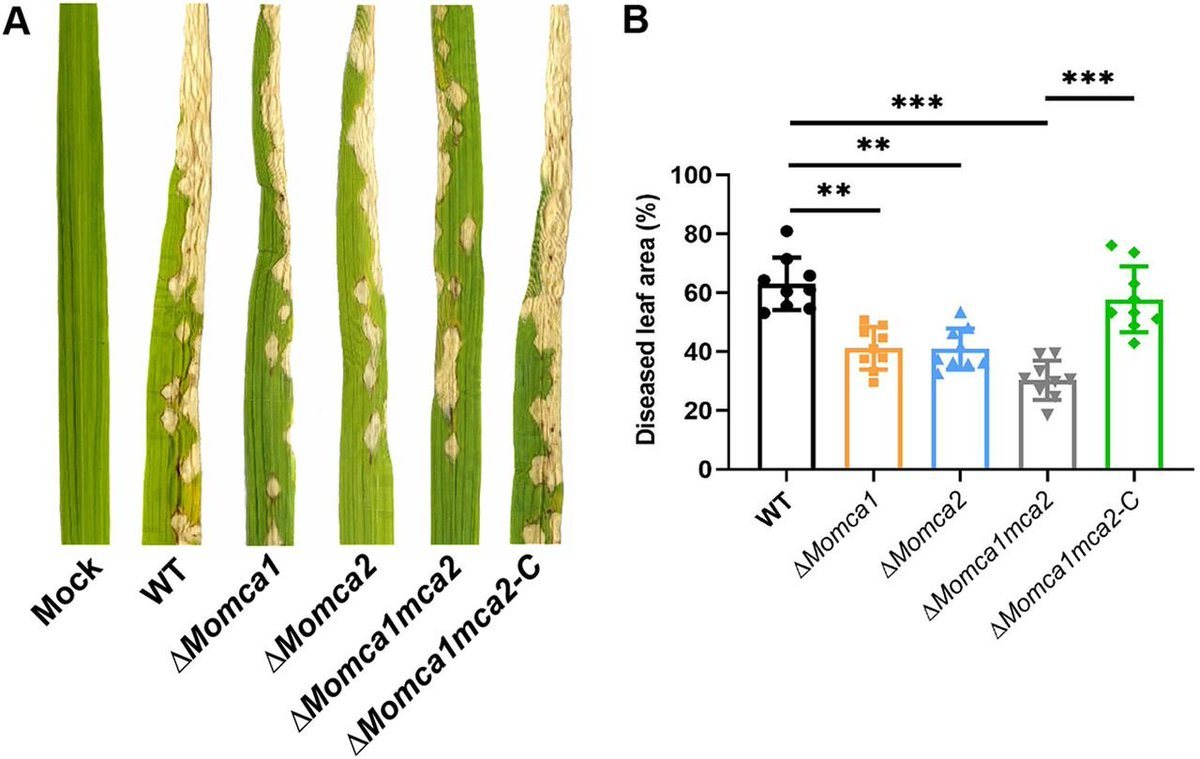 test Twitter Media - Role of Two Metacaspases in Development and Pathogenicity of the Rice Blast Fungus Magnaporthe oryzae https://t.co/y2XS1kjggP https://t.co/x06hE2Y4TJ