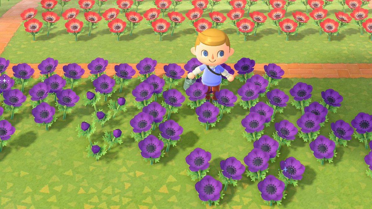 test ツイッターメディア - ディーン君、ガーデナーになる メイン島では全く咲かせられなかったアネモネ紫。妹分のエベリスさんが、少し前にアネモネ紫作出に成功。それでやる気になったディーン君が、ついにここまで咲かせました。種からの交配で、あつ森時間2月弱かかりました。これでスタンドフラワーが作れる😊 https://t.co/yStzyYYysR