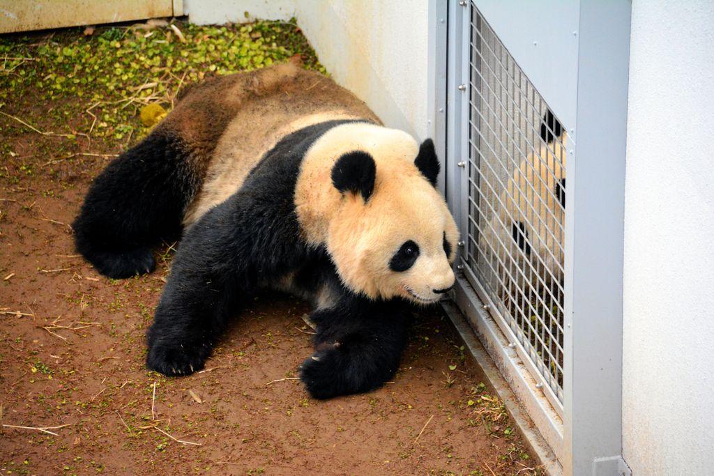 test ツイッターメディア - 上野動物園のパンダが交尾 4年ぶり赤ちゃん誕生なるか https://t.co/lVeguXRTj2  上野動物園のジャイアント #パンダ のメス・シンシンとオス・リーリーの交尾が確認されました。  #シャンシャン に続く赤ちゃんの誕生に期待がかかります。 https://t.co/zl879i4KtH