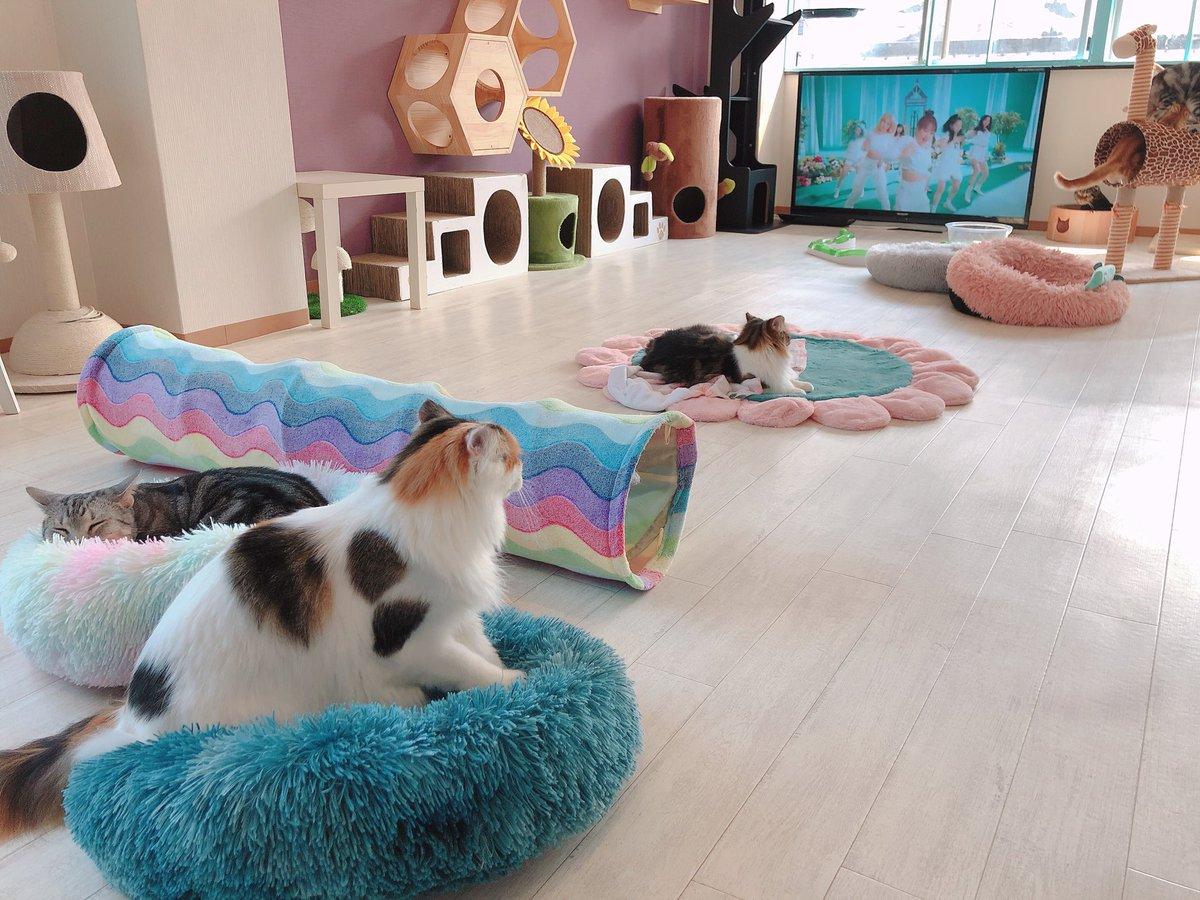 test ツイッターメディア - クッションこんなにバラして置いたのに やっぱりカラフル🌈を選ぶニック😭👏💘 なんでなんやろ??不思議かわいい🥺💘💘💘💘 探偵ナイトスクープ出した方がいいんちゃん爆笑  #猫カフェラグドール #猫カフェラグドールニック #関西猫カフェめぐり https://t.co/R1paVTYNfb
