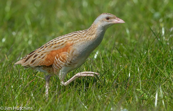 CREX CREX, CREX CREX  The first CORNCRAKE of the year reported today from South Uist at Frobost https://t.co/v3uxwEPiFW