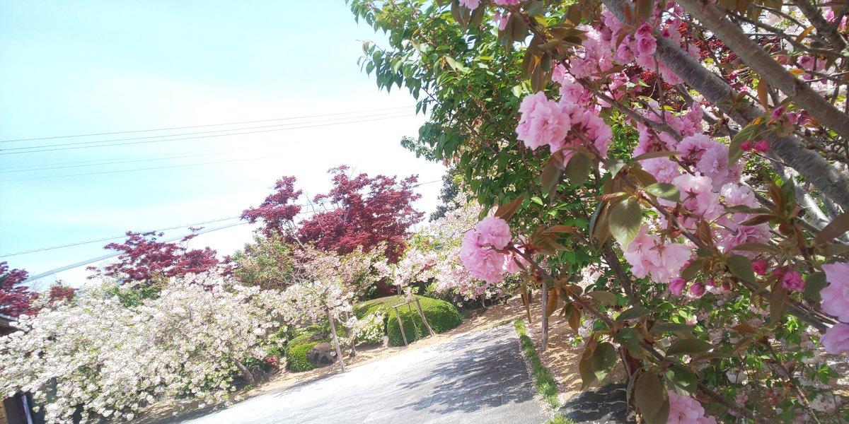 test ツイッターメディア - 仕事で徳島へ来てます。八重桜が綺麗に咲いているところがあるので立ち寄ってみたら、この地域では有名な和三盆の工場だそう。良いものを見させて頂きました。 #岡田製糖 https://t.co/qbOKRJx42Q