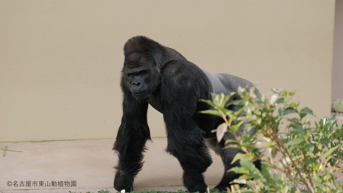 test ツイッターメディア - 💎初回放送まであと2日💎  名古屋の東山動植物園の 「シャバーニ」というイケメンゴリラをご存じですか?  初回、シャバーニ出てきます! 公式はこの目で「演技をするシャバーニ」を見ました👀 ホントに!!  ということで、 クレジットにもシャバーニ載ってます😎  #最高のオバハン中島ハルコ https://t.co/q6fFZ1nT7S
