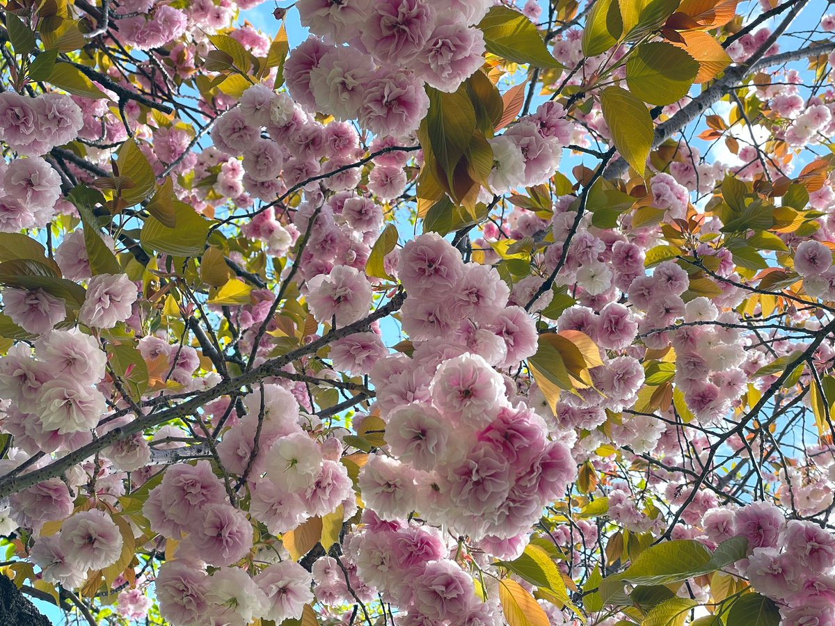 test ツイッターメディア - 千鳥ヶ淵も八重桜は満開 https://t.co/3EGF5zLF4H